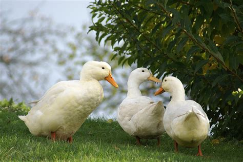 is it bad to feed bread to ducks