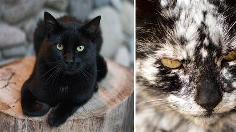 7 Years After He Adopts A Normal Black Cat It Transforms Black Cat