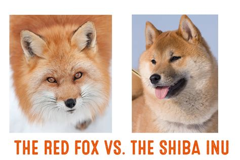 is a fox a differences between a shiba inu and a fox my shiba inu