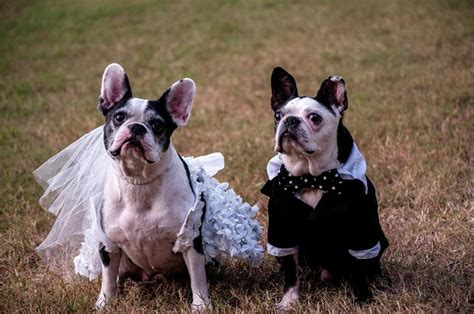 French Bulldog Giveaway - something borrowed something cute french bulldog weds boston terrier see pics from