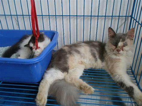 Sho Kucing Anti Jamur dijual anak kucing tanda kucing terkena jamur dan