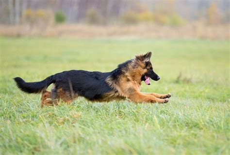How To Deal With German Shepherd Shedding by Haired German Shepherd Hair Problems Nope