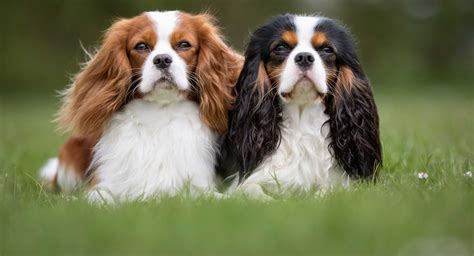 free king charles cavalier puppies shady grove puppies bulldog cavalier king charles spaniels
