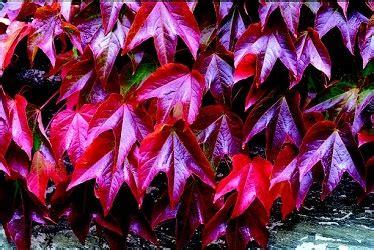 vite canadese in vaso come scegliere le piante ricanti per pergole e pareti verdi