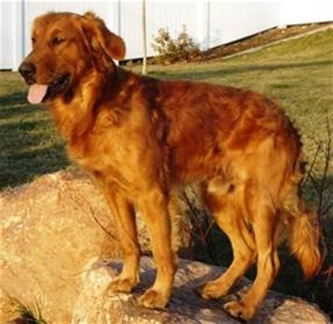 what is a field golden retriever field golden retriever search other and animal pics