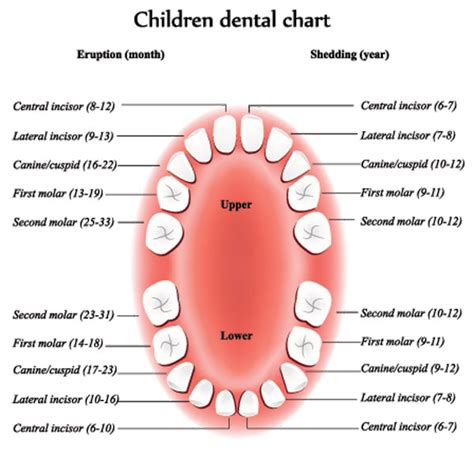 children s teeth diagram children s dental chart of eruptions and sheddings