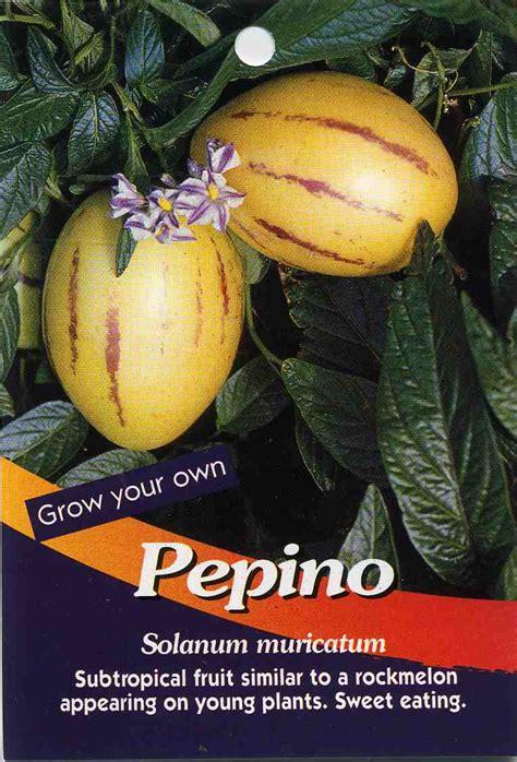 fruit similar to pepino solanum muricatum buy pepino subtropical fruit