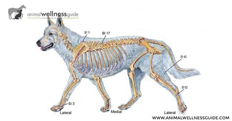 acupressure points  canine osteoarthritis animal