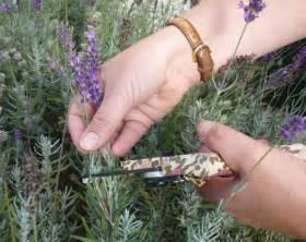lavender the garden of eaden