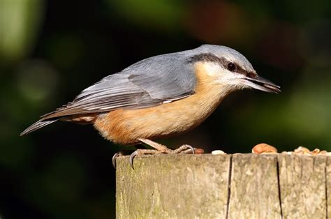 backyard birds matthews nc red breasted nuthatch backyard birds the bird food