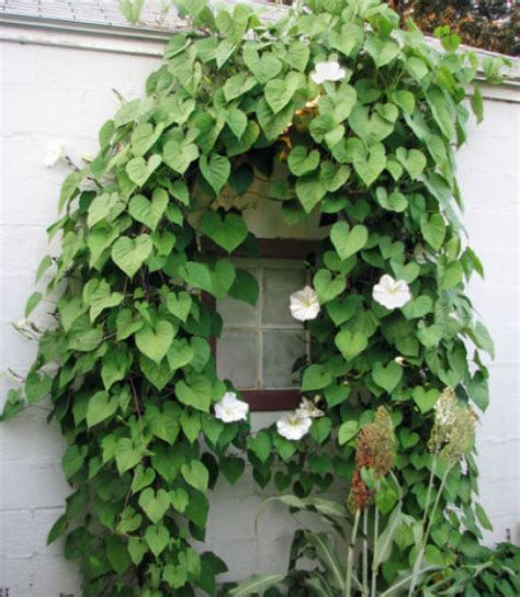 climbing plant climbing vines indoors tips for growing common indoor