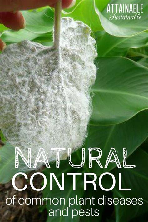 8 Ways To Deal With Pests by The 25 Best Whitefly Ideas On Insecticide For
