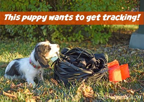 what age to start puppy puppy tracking what age should start my gbgv