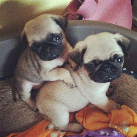 cuddle pugs cuddle pugs adorable animals
