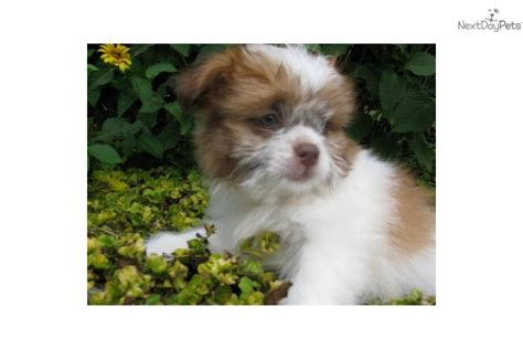shih tzu and chihuahua mix price meet cinnamon a shih poo shihpoo puppy for sale for 75 i am a shih tzu