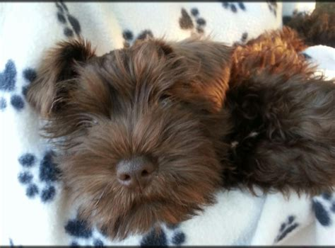 liver colored liver miniature schnauzer puppies www imgkid the