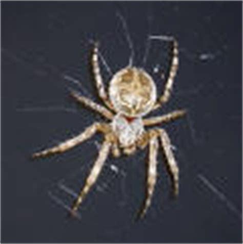 Garden Spider Ontario Spider Identification