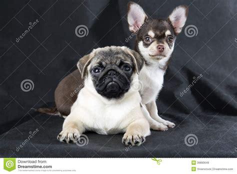 chiwawa and pug chihuahua and pug stock photo image 39890649
