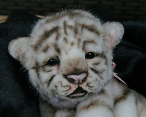 baby white tiger cubs white tiger cub