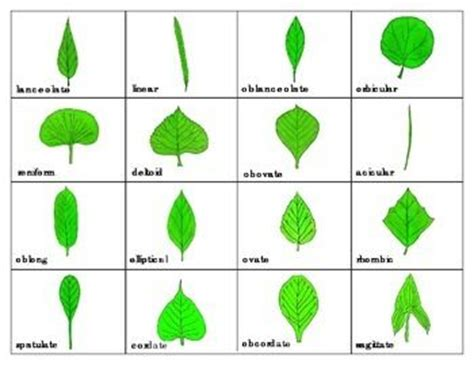 printable leaves and names pinterest the world s catalog of ideas