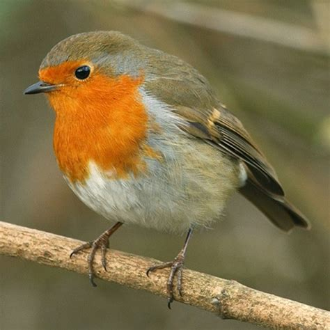 robin popular british birds gardenbird co uk