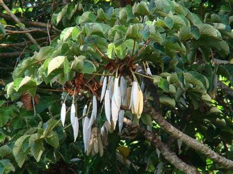 images of plants cecropia palmata images useful tropical plants