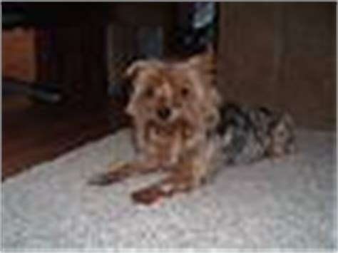 curly haired yorkie a curly haired yorkie yorkietalk forums terrier community
