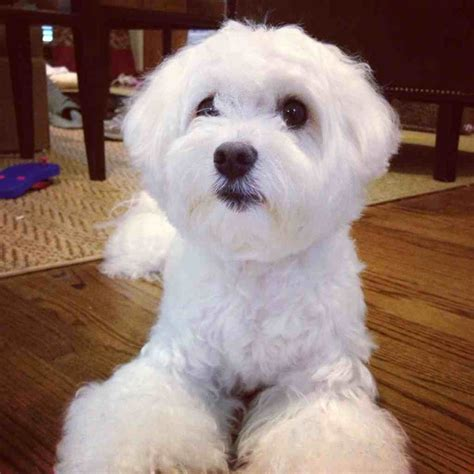 maltese faces grooming teddybear face page 4 maltese dogs forum spoiled
