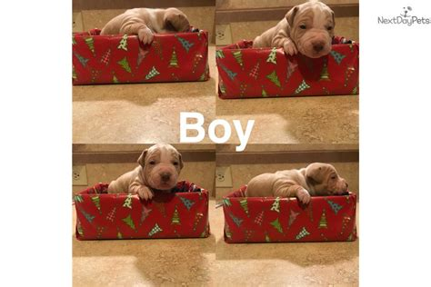 pitbull puppies for sale in cleveland ohio american pit bull terrier puppy for sale near cleveland ohio 3b780536 aa61