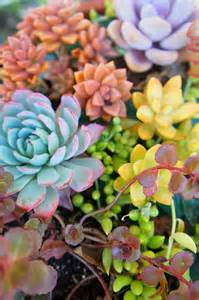 colorful succulents colorful succulents garden ideas