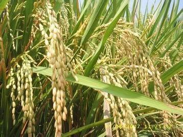 Beras Putih Organik Menthik Lingkar Organik 1 Kg beras indonesia jual beras distributor beras beras murah