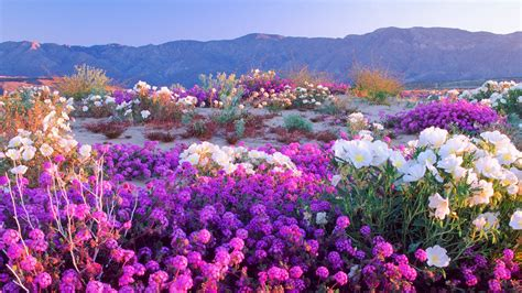 anza borrego super bloom super bloom of wildflowers days away in anza borrego