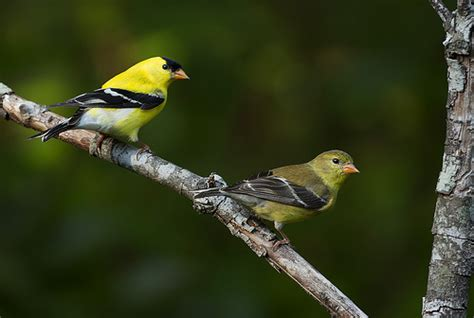 male and female yellow finch flickr photo sharing