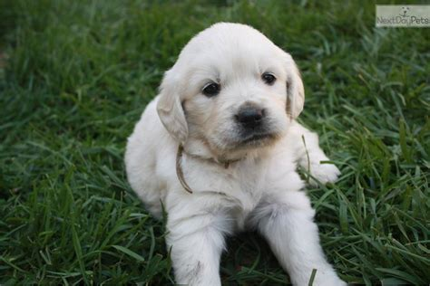 golden retriever puppies amarillo tx golden retriever puppies golden retriever puppy breeds picture