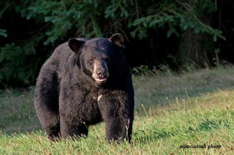 big black bear big black bear bears pinterest