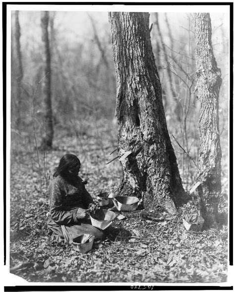 maple tree history file ojibwe tapping for sugar maple syrup jpg wikimedia commons