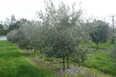 Olives & Olive Oil ? Fantail Grove