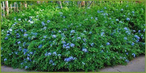 partial sun flowering shrubs 5 shrubs that thrive in partial sun