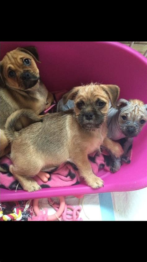 crested pug pug x hairless crested reduced price birmingham west midlands pets4homes