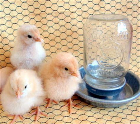 The Backyard Farming Connection Raising Chicks Baby Crib Water Feeder