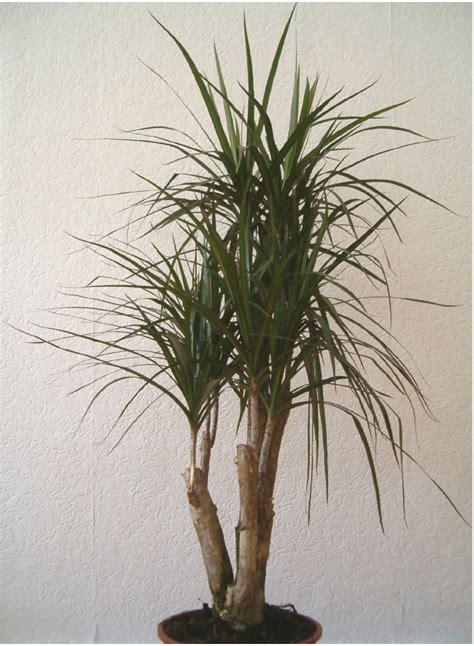 dracaena marginata herbplants dracaena marginata