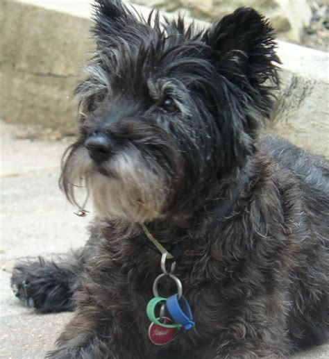 chagne color pitbull scruffy puppies thread lost cairn terrier black