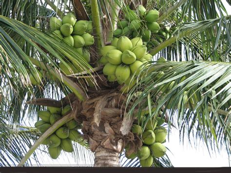 Coconut Tree nature health secrets coconut