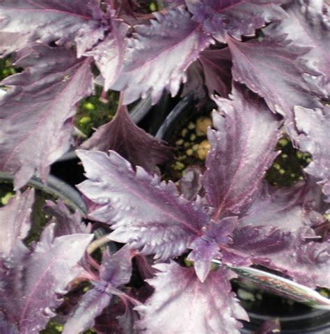 Benih Basil Ungu 30 Biji benih basil purple ruffles