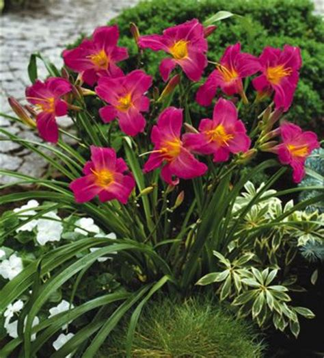 Daylilies For Shade Razzmatazz Daylily Perennial Sun To Part Shade