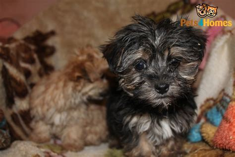black maltese puppies black maltese puppies breeds picture