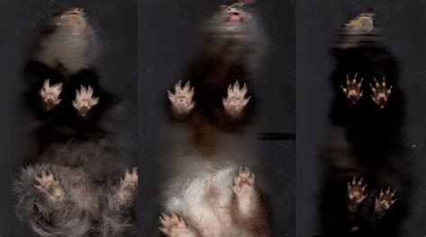 paw pads ferret paw pads by shegoran on deviantart