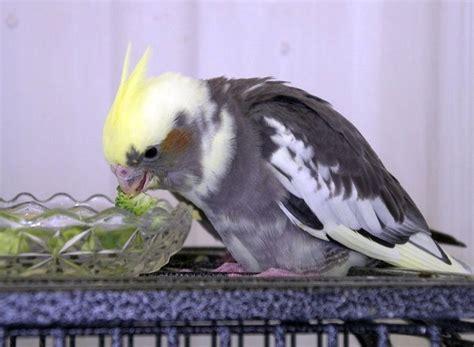 how often should i feed my tiel avian avenue parrot forum