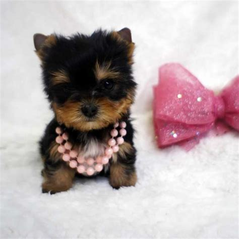 tiny puppy tiny puppy for sale teacup yorkies sale
