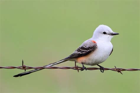 99 best images about state bird and flower on pinterest